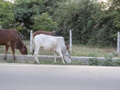 道路を歩く牛