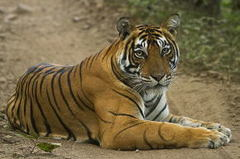ランタンボールの虎